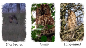 Three species of Owls